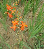 火星花,火星花苗,别名雄黄兰,花卉苗木。火星花基地