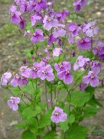 二月兰苗,别名二月蓝、菜子花、紫金草,十字花,诸葛菜
