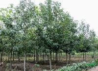 北美枫香,北美枫香苗,枫香树,别名胶皮枫香树,北美枫香基地