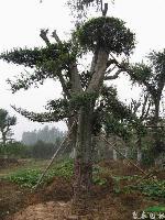 景观林木榉树,榉树小苗,别名大叶榉、红榉树,青榉,白榉