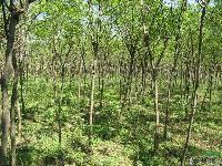 园林乔木-大国槐,国槐苗,又名 槐树、槐蕊、豆槐、白槐