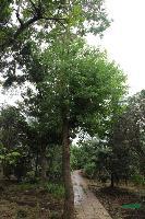 园林乔木-乌桕,乌桕苗,又名 腊子树、桕子树、木子树