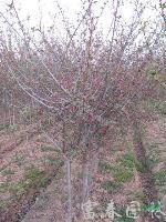 园林乔木-垂丝海棠,垂丝海棠小苗,又名海棠、海棠花、垂枝海棠