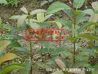 大量批发零售四川大叶榕、四川大叶榕小苗、四川大叶榕种子