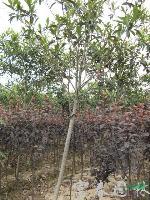 常绿乔木-枇杷,枇杷苗,又名芦橘,金丸、芦枝