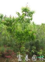 小乔木-青枫,青枫苗,青枫直销基地,又名鸡爪槭