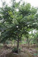 绿化乔木-鸡爪槭,鸡爪槭苗,江苏鸡爪槭,又名鸡爪枫,槭树