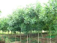 马褂木价格 马褂木苗木销售 4-20公分柳树马褂木价格