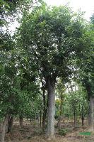 朴树,朴树苗,朴树种子,别名:香朴、青朴、沙朴,朴树价格