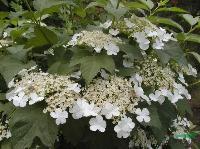 绿化灌木-天目琼花,天目琼花种子,天目琼花直销基地