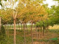 供应景观树种金枝槐价格、金枝国槐图片,黄金槐 ,黄槐风景树