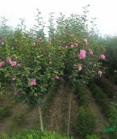 供應獨桿木槿價格、獨桿木槿圖片、獨桿木槿綠化苗木苗圃基地
