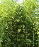 供应早园竹、早园竹价格、早园竹基地