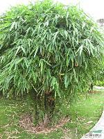 供应佛肚竹、佛肚竹价格、佛肚竹苗木