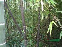 供应紫竹、紫竹价格、紫竹苗木