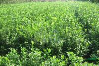 供應大葉黃楊40-50-60-70-80公分高大葉黃楊價格