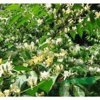 供应金银木、金银木价格、金银木苗圃苗