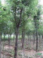 直销大树-香樟,香樟苗,香樟直销基地,又名木樟、乌樟、芳樟树