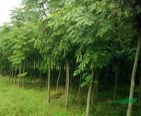 白蜡、榆叶梅、黄金槐、水杉、西府海棠等