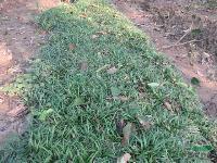 直销-玉龙草,玉龙草直销基地,又名地龙、短叶书带草、短叶沿阶