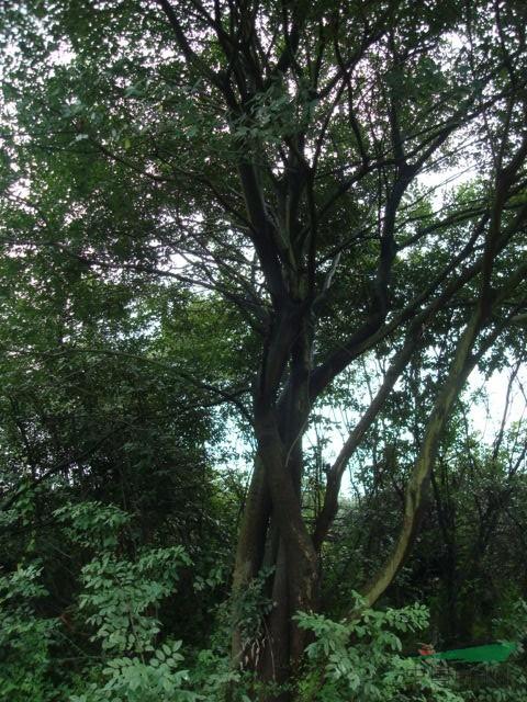 安徽肥西供应红叶李,女贞,桂花,朴树,乌桕,三角枫,紫薇