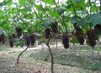 葡萄樹,葡萄樹苗,葡萄樹直銷,葡萄樹苗價格