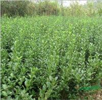 供應大葉黃楊價格、大葉黃楊產地、大葉黃楊綠化苗木苗圃基地