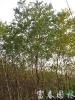 乌桕,乌桕苗,又名腊子树、桕子树,乌桕基地,乌桕树价格