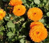 出口景观花卉种子,金盏菊种子,别名金盏花、黄金盏、长生菊