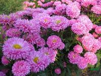 直销出口景观花卉种子,翠菊种子,别名江西腊、七月菊