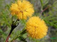 金合欢,金合欢小苗,别称:鸭皂树,刺球花,消息树,牛角花