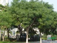 国槐,法桐,白蜡,榕树,垂柳,速生国槐白蜡柳等各种绿化乔木