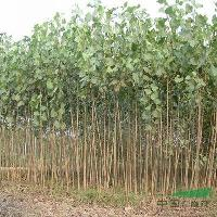 青桐、柿子树、青枫、大叶女贞、紫玉兰、意杨、苦楝