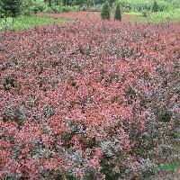 豆辨黄杨、四季锦带、雀舌黄杨、小龙柏、青叶女贞、紫叶小檗