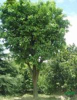 香泡,香泡树苗,香泡树,别名:香橼,枸橼,香泡基地,沭阳香泡