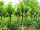 国槐,法桐,白蜡,榕树,垂柳等