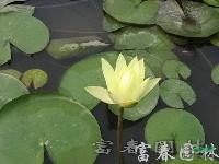 水生植物睡莲,睡莲苗,别名子午莲、水芹花、瑞莲、水洋花、小莲