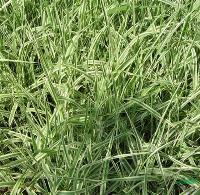 水生植物玉带草,玉带草苗,别名斑叶芦竹、彩叶芦竹