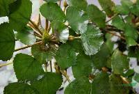 水生植物菱,菱苗,别名芰,水菱,风菱、乌菱,菱角,水栗,菱实
