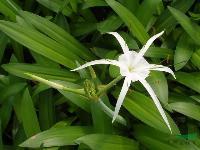 水生植物水鬼蕉,水鬼蕉苗,別名美洲水鬼蕉、蜘蛛蘭、蜘蛛百合