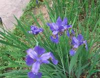 水生花卉-溪荪,别名溪荪鸢尾,赤红鸢尾,溪荪种子,溪荪基地
