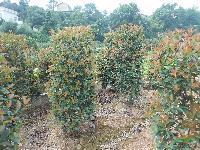 红叶石楠柱、红叶石楠小苗、红叶石楠树、红叶石楠球、独干红