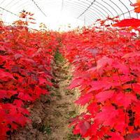 供應美國紅楓秋火焰,秋火焰紅楓,紅點紅楓等