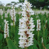 白花海寿花
