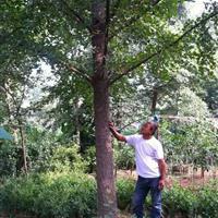 供应银杏10到35公分价格、银杏苗圃基地直销