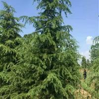 供应江苏雪松价格、雪松图片、雪松绿化苗木苗圃基地