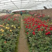 大量沭阳品种月季、品种月季价格、品种月季苗木基地直销