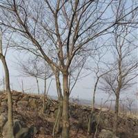 供黄连木价格、黄连木图片、黄连木产地、黄连木绿化苗木苗圃基地