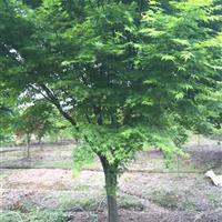 供应鸡爪槭、鸡爪槭价格、鸡爪槭苗木