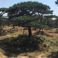 供应黑松造型、黑松造型价格、黑松造型苗木